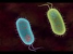 The Search for Genetic Material - Bacterial Transformation